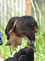 Guapo the Swainsen's Hawk