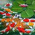Klasifikasi Ikan Koi