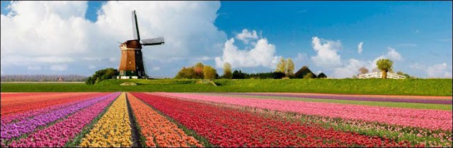 TULIP FIELDS OF NORTHERN NETHERLANDS IN MONTH OF MAY