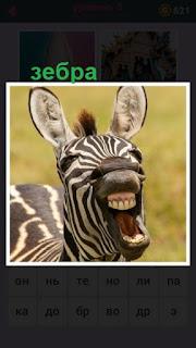 стоит зебра с открытой пастью показывая свои зубы в улыбке