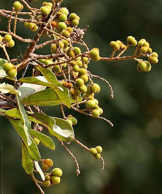 சீயக்காய் மரம்