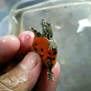 baby-bulus-pelodiscus.jpg