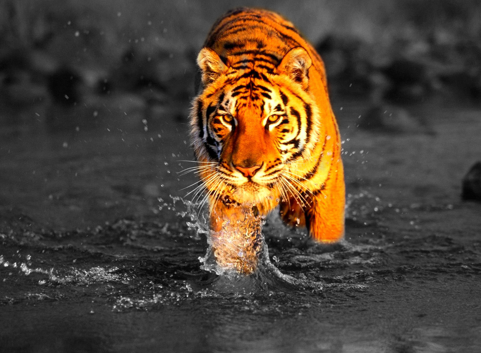 Wild Tiger Fighting Black And White Photography With Color
