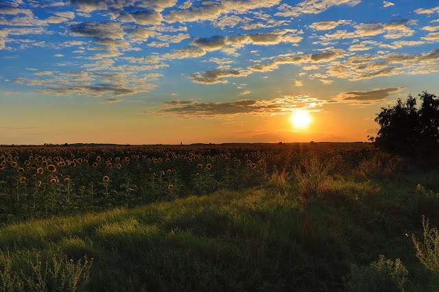 Słoneczniki na Węgrzech, w okolicach Jaszbereny