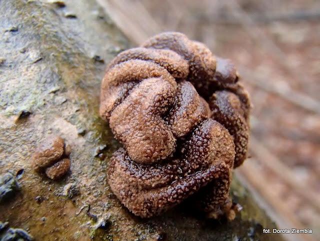 encoelia furfuacea, grzyby gatunkami, atlas grzybow, grzybobranie, grzybek, grzyb, las, na leszczynie, jaki to grzyb