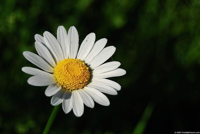 Gänseblümchen marguerite daisy