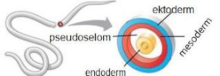 Macam-macam lapisan embrionik