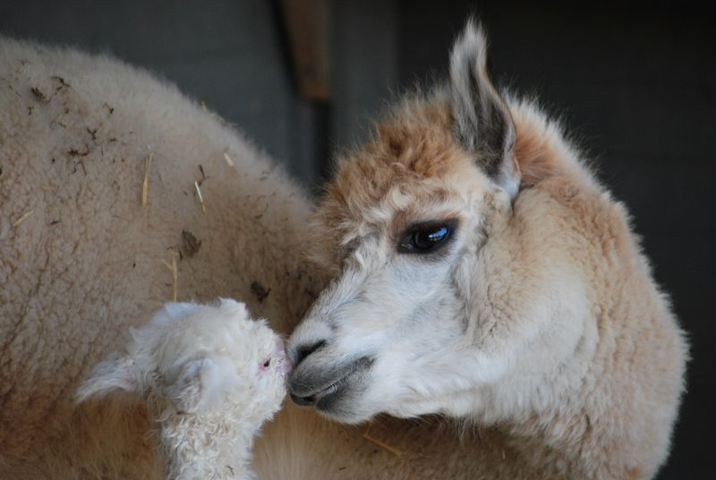 Baby Animals: Camel - Calf 12