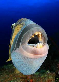 triggerfish bite