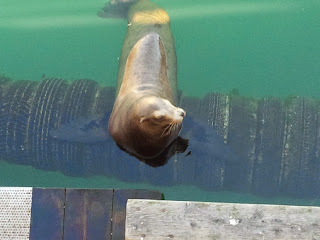 A seal relaxing near the dock. Spotted during a tour of the 17 Mile Drive