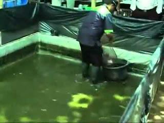 pembersihan kolam