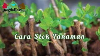 Cara Mudah Stek Tanaman