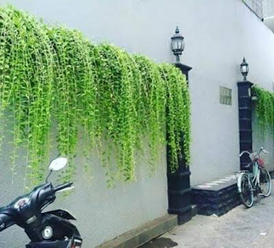 Jual pohon li kwan yu di bogor - tukang rumput bogor
