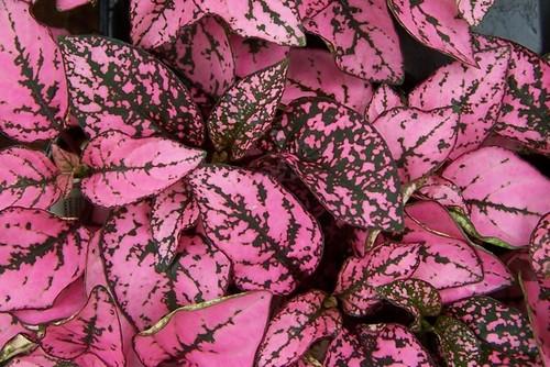 Piante e fiori hypoestes dalle foglie delicate for Pianta con foglie rosse