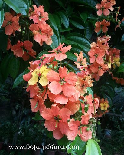Bauhinia kockiana, Kock's Bauhinia, Red Trailing Bauhinia, Climbing Bauhinia