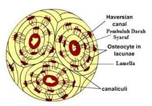 Saluran Havers dikeliling oleh osteosit yang terdapat di dalam lakuna