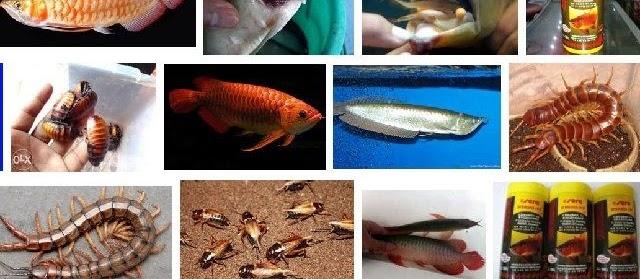 Makanan Ikan Arwana dan Cara Memberikan yang Baik dan Bagus