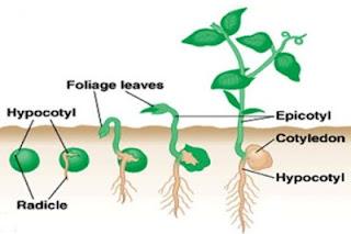 pembahasan soal biologi elrangga kelas 12 kurikulum 2013 materi pertumbuhan dan perkembangan..