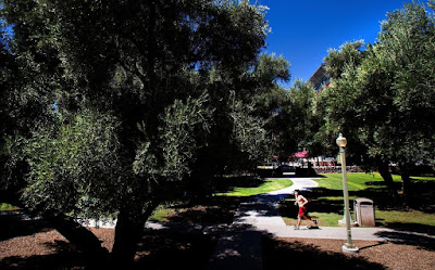 Olive trees lining the walkways at the University of Arizona. There is a man in red shorts running in the foreground.