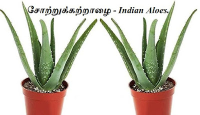 சோற்றுக்கற்றாழை - Indian Aloes - part 2.