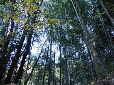 獅子窟寺ハイキング 竹林
