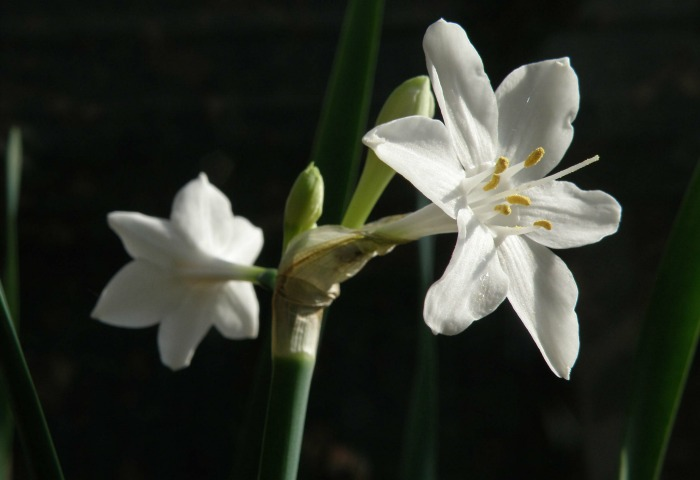 Narcissus broussonetii