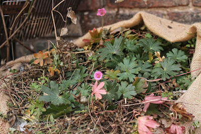 "This picture is taken in a garden that is in an apartment building in NYC. The container has been wrapped in burlap for the winter and part of this material is visible in the image, as is the brick wall behind it. The focus of the image is a couple of pink colored geraniums who are poking their heads up through the mulch (which has been placed on the plant to protect the flora from winter temperatures. A few of the geranium's green leaves are also poking up through the mulch. Garden winterizing is discussed in volume two of my three volume book series, ""Words In Our Beak."" Information re these books can be found within another post on this blog @ https://www.thelastleafgardener.com/2018/10/one-sheet-book-series-info.html"