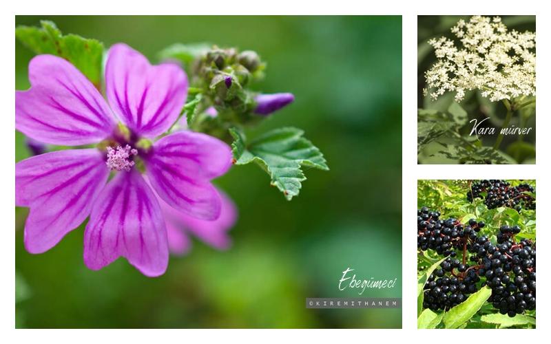 Ebegümeci&Kara mürver Bitkisi