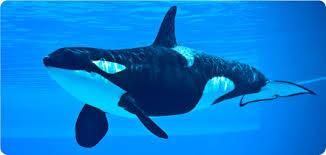 Os cetáceos (latim científico: Cetacea) constituem uma ordem de animais marinhos