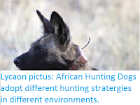 https://sciencythoughts.blogspot.com/2016/04/lycaon-pictus-african-hunting-dogs.html