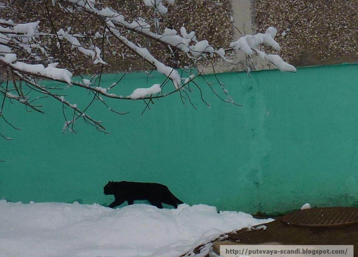 пантера с нашего двора
