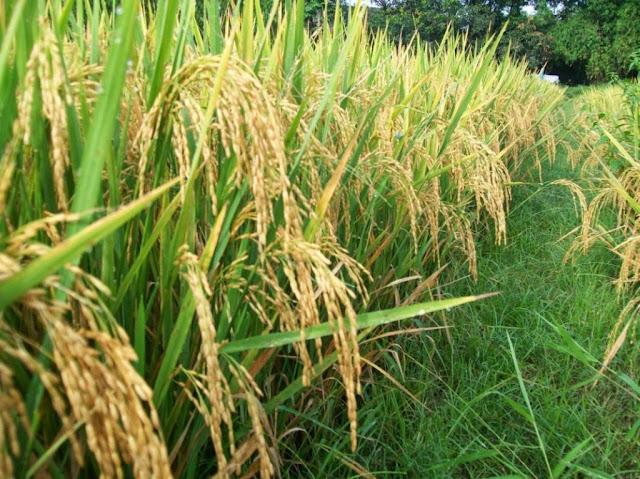 pupuk nasa untuk padi