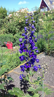 Delphinium Black Knight Pacific Giant from seed