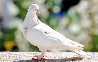 Pigeon essay in Hindi