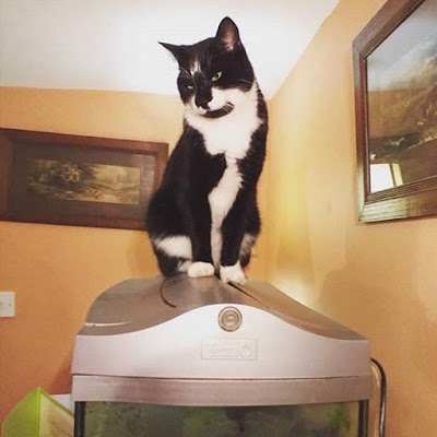 The Writer's Pet: British writer Jenni Keer's cat BooBoo on top of a fish tank
