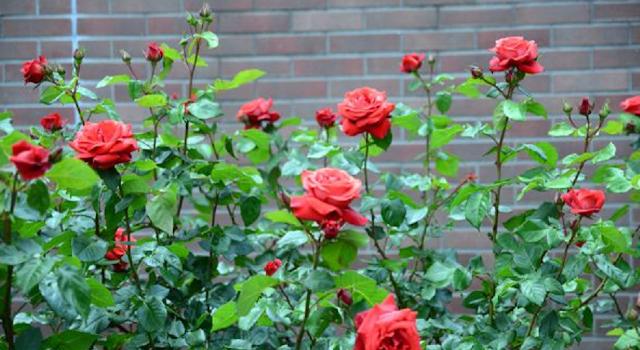 bunga mawar merah cantik