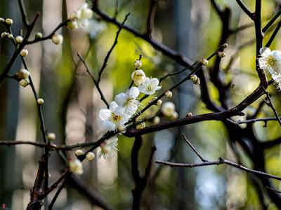 Ume (Japanese apricot) flowers: Engaku-ji