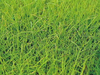 rumput-bermuda-untuk-kura-kura.jpg