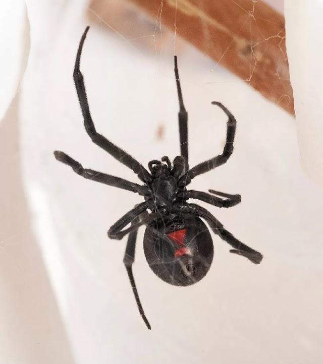 Karadul Örümceği İle İlgili 10 Gerçek Bilgi >>>