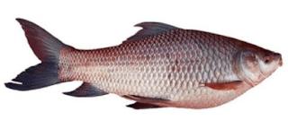 Rohu Fish in Tamil