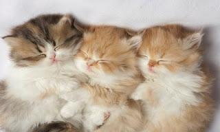 Kediler Kaç Ay Hamile Kalır