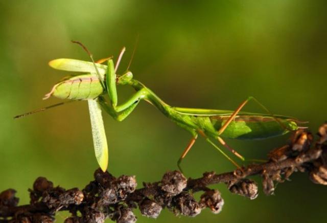 Sadisnya belalang sembah betina
