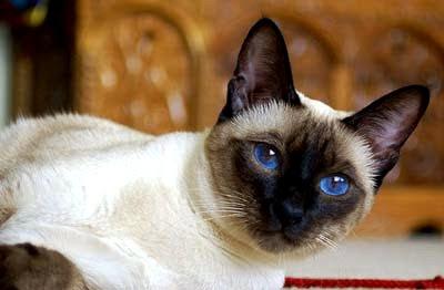 ☟ Gato siames: raza, temperamento y salud