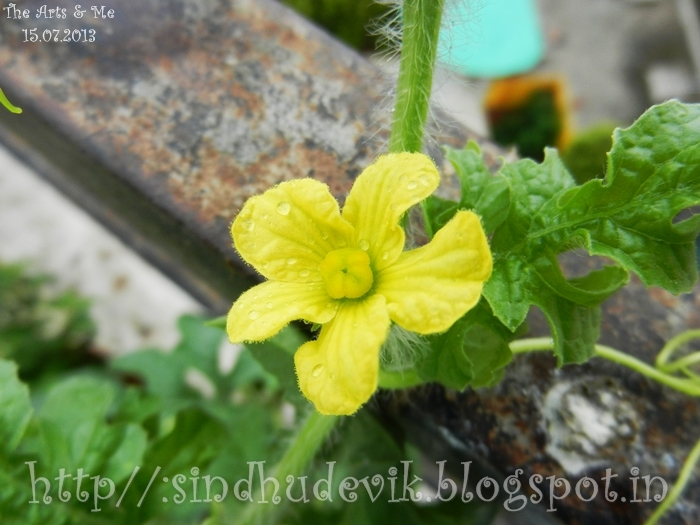 A yellow female watermelon flower and leaves photographed just after a shower of rain. Shiny dewdrops look like pearls.