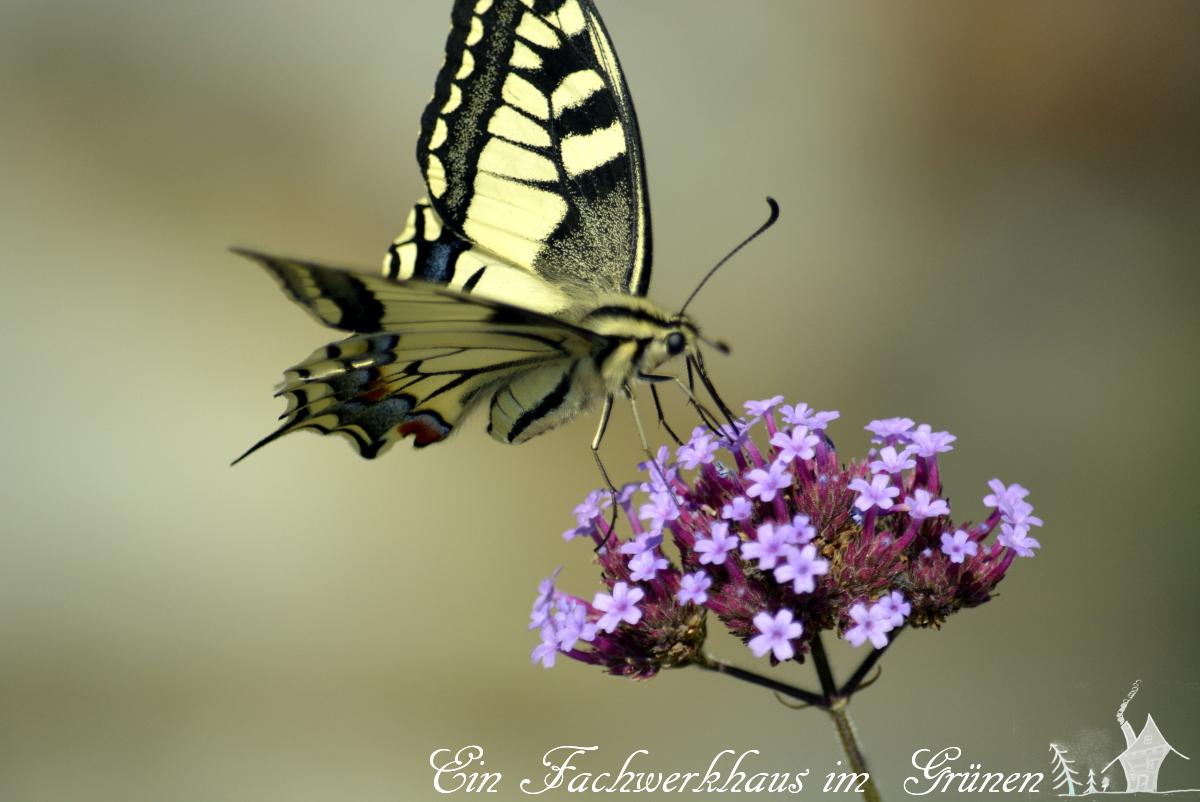 Der Schwalbenschwanz, Papilio machaon