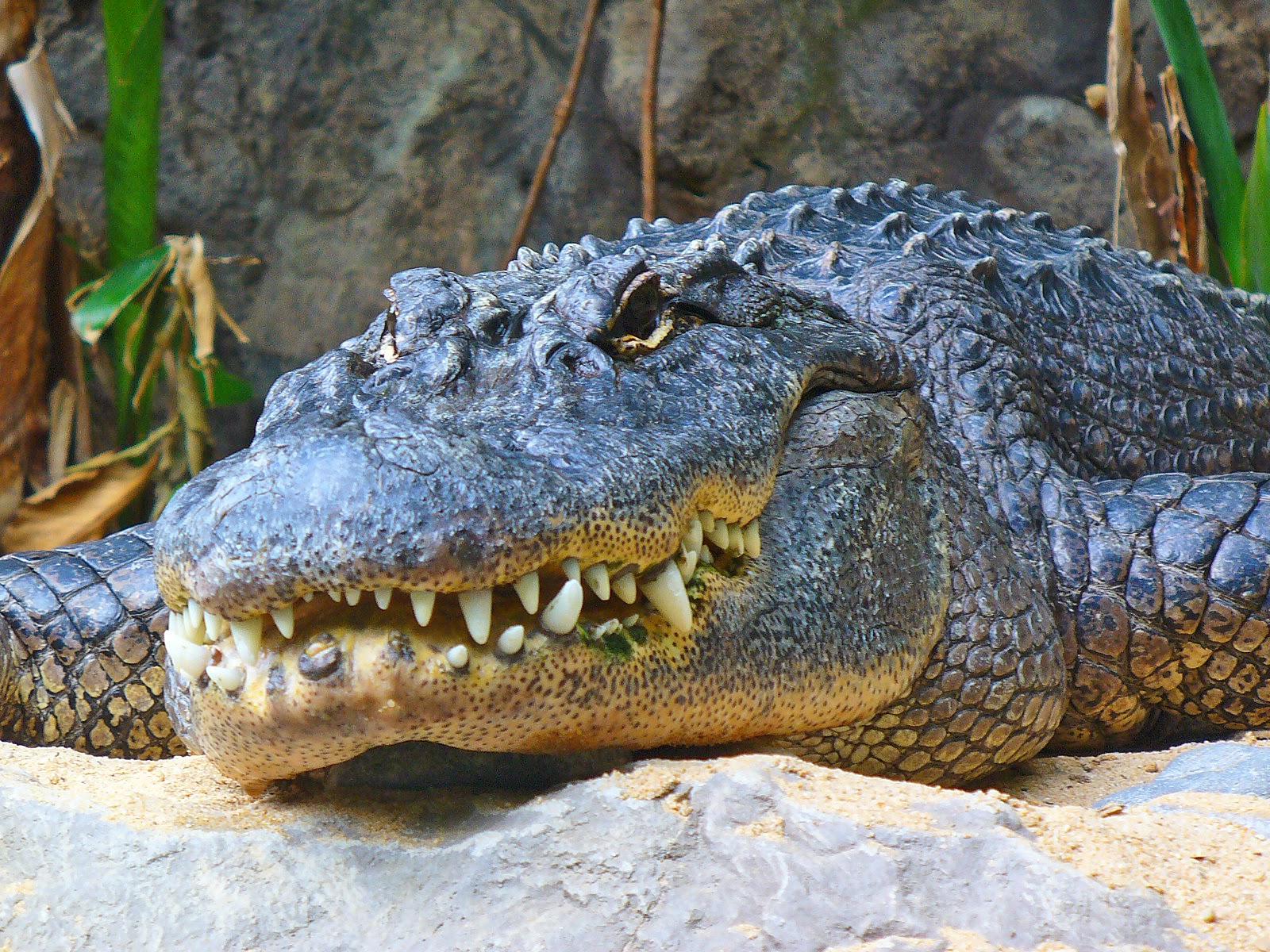 Trabajar En El Zoo Anatomía Del Orden Crocodilia