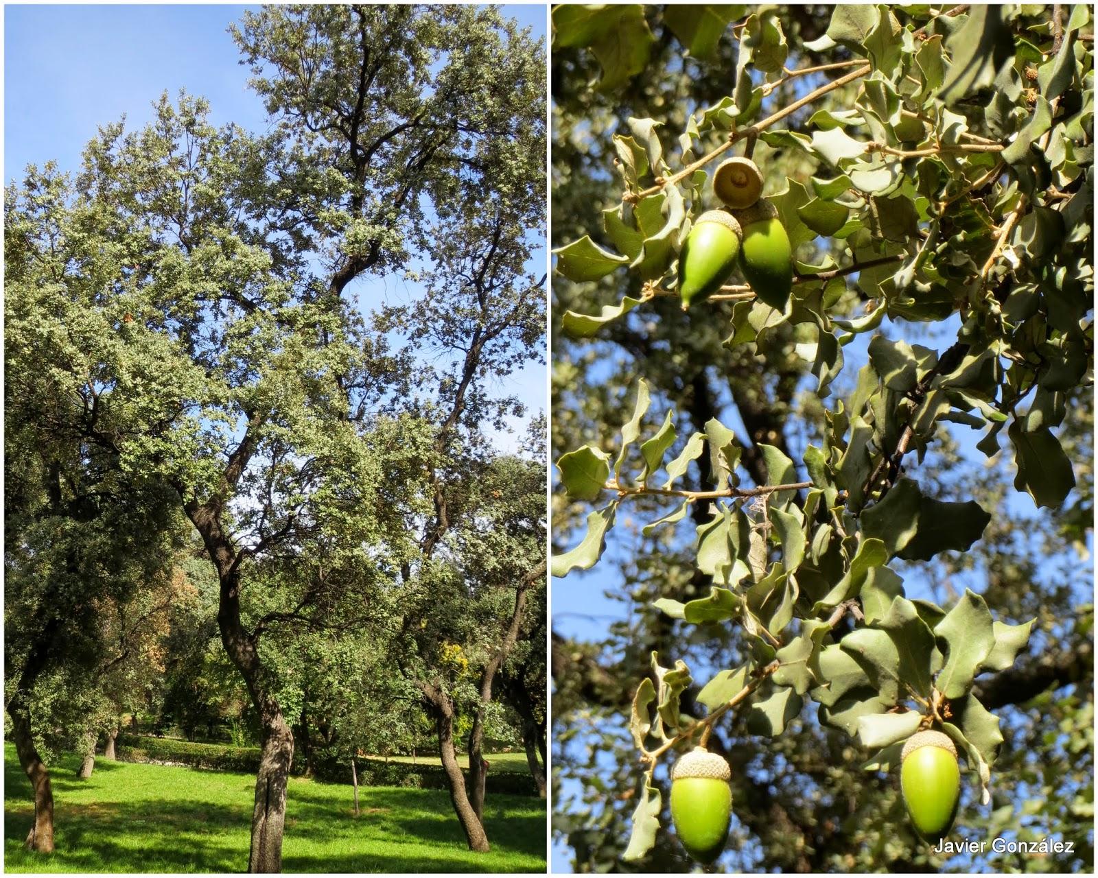 Parque del Retiro. Encina. Holm oak