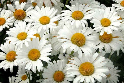 Romantic flowers white flowers as a feng shui color white is associated to the metal element bringing a sense of clean freshness and tranquility use white in your home especially in mightylinksfo