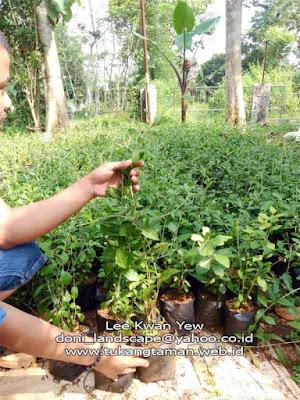 jual pohon lee kwan yew | tanaman rambat