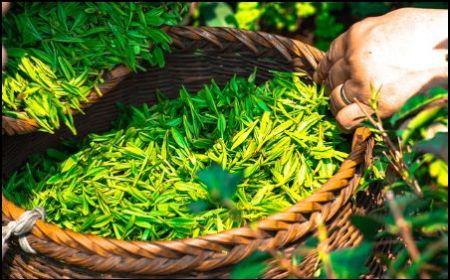 8 Proven Benefits of Anti-Oxidants in Green Tea